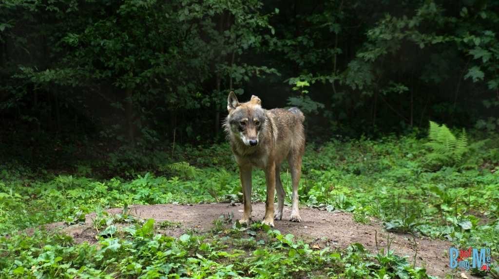 Wolf in der Gegend von Białowieża