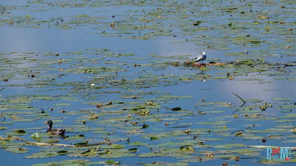 Wasservögel auf dem Drausensee