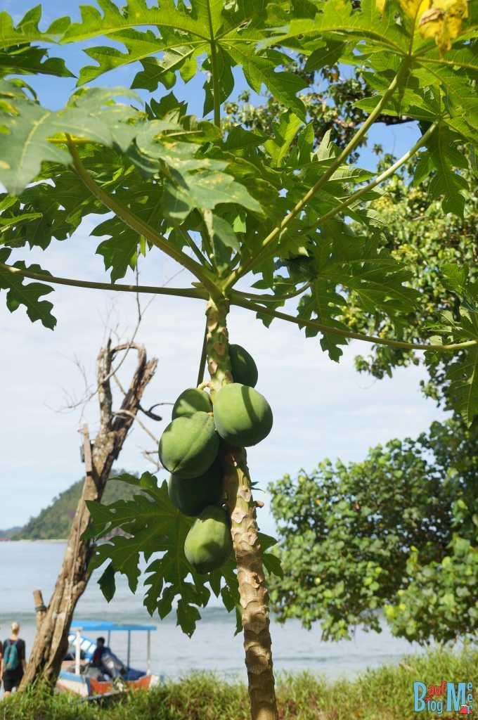 Hier wächst die Papaya direkt am Strand