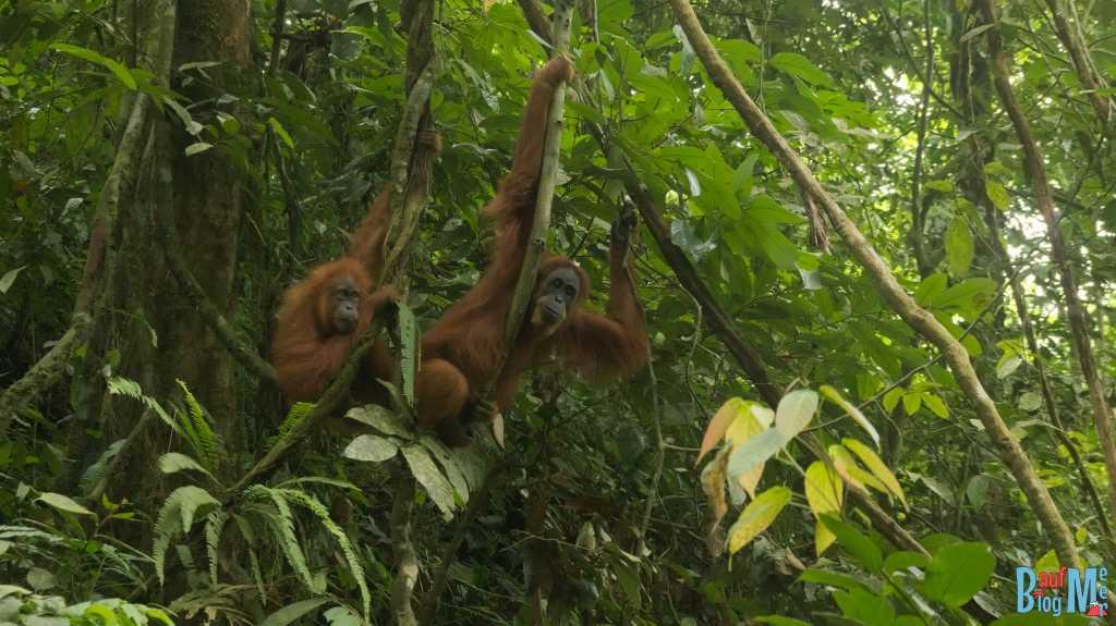 Orang-Utan Weibchen mit Jungtier in Bukit Lawang