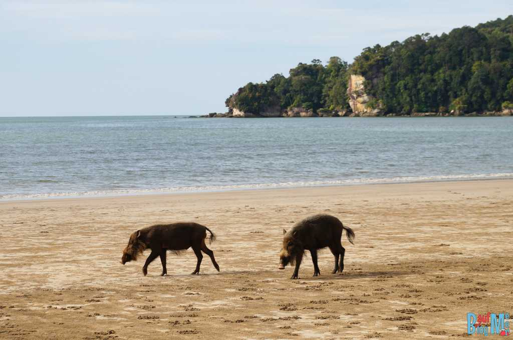 Bartschweine am Strand des Bako Naitonalparks