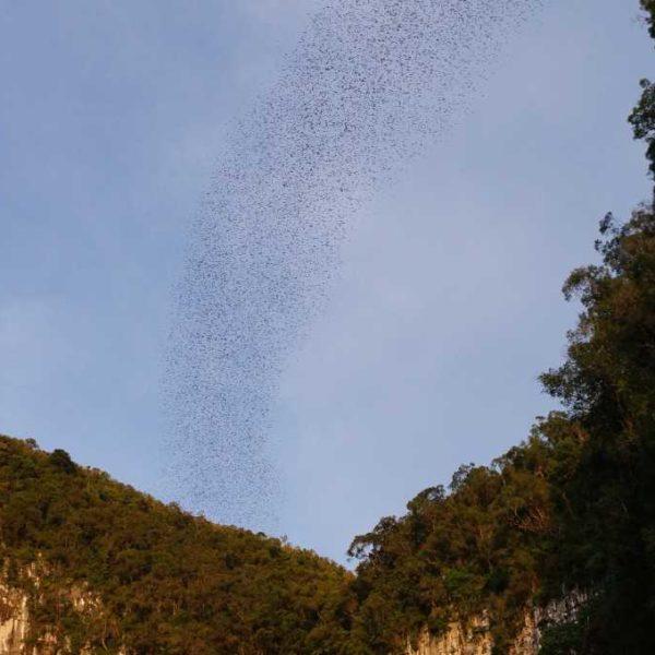 Bat Exodus im Gunung Mulu Nationalpark