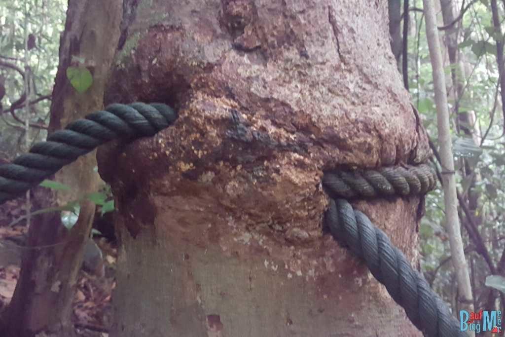 In den Baum eingewachsenes Seil (Handyfoto)