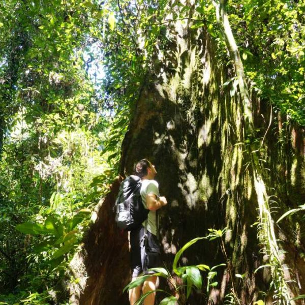 Baum beim Rundwanderweg im Gunung Mulu Nationalpark