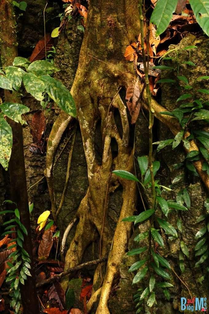 "Wurzel in ""Scream"" Form im Gunung Mulu Nationalpark"