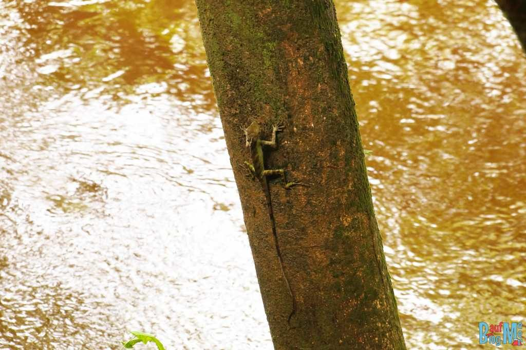Borneo Dragon im Gunung Mulu Nationalpark