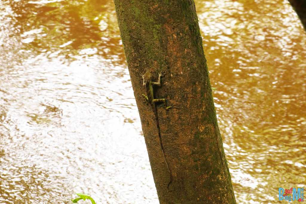 Borneo Dragon im Gunung Mulu Nationalpark