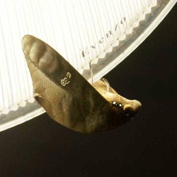 Blatt Mimikry Falter im Gunung Mulu Nationalpark