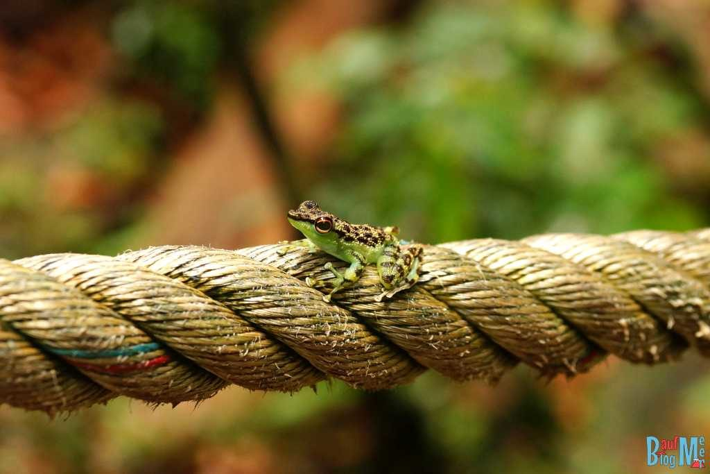 Frosch im Santubong Nationalpark