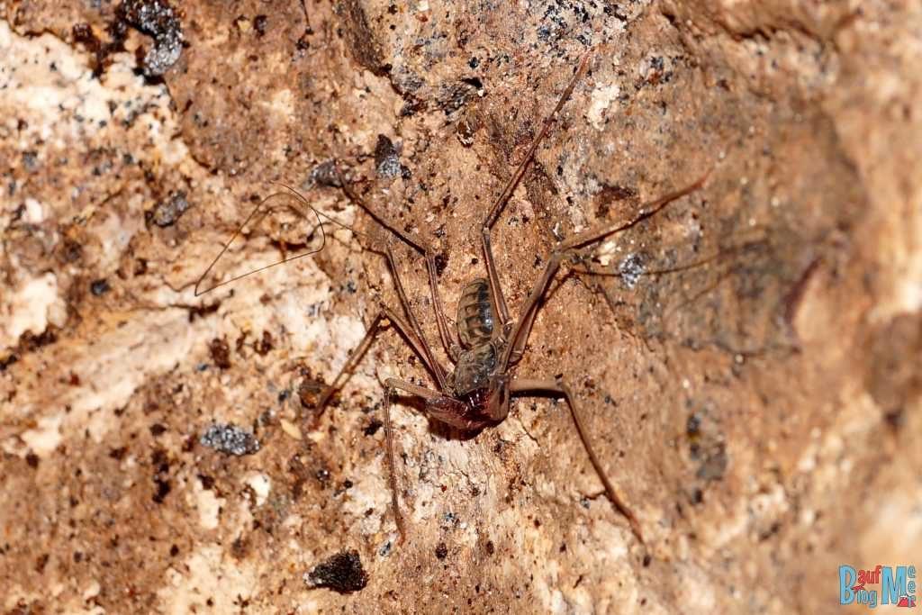 Tailless Whip Scorpion (Amblypigid sp.) = Geißelspinne, die ihre modifizierten Forderbeine benutzt, um nach Futter in der Dunkeltheit zu suchen