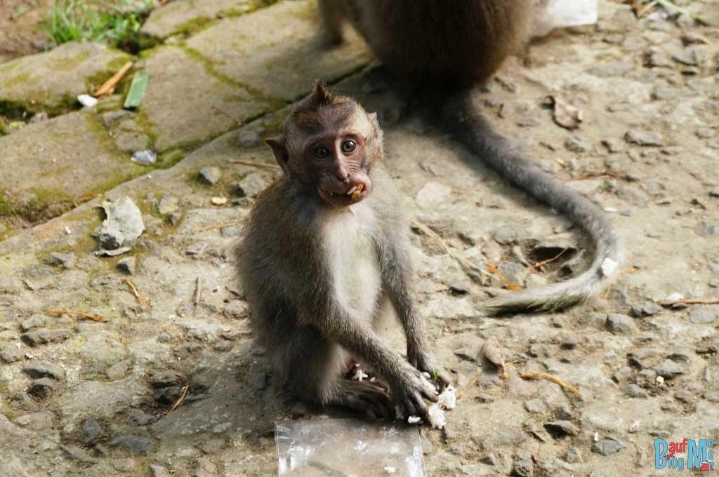 Bali ist: Makaken in TempelnMakaken. Auf Taschen und lose Gegenstände um Tempel herum aufpassen