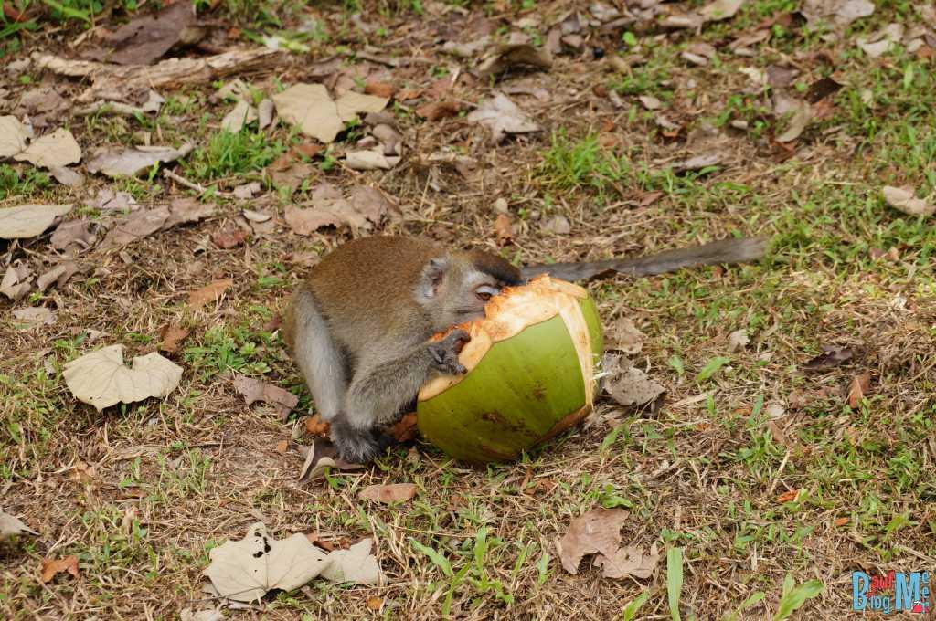 Makake mit Kokosnuss im Bako Nationalpark