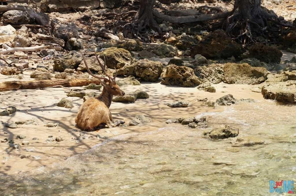 Hirsch auf Insel Menjangan