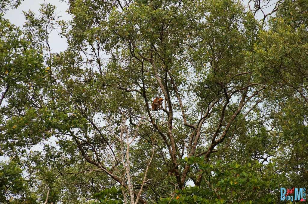 Nasenaffen in den Bäumen der Wetlands bei Kuching