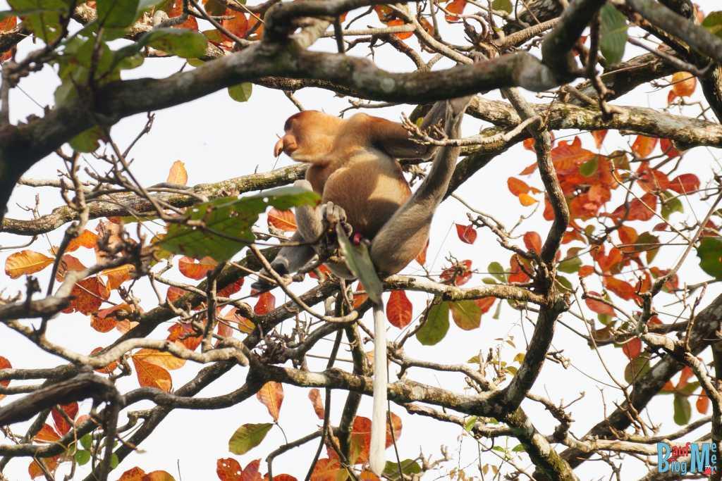 Nasenaffe im Bako Nationalpark