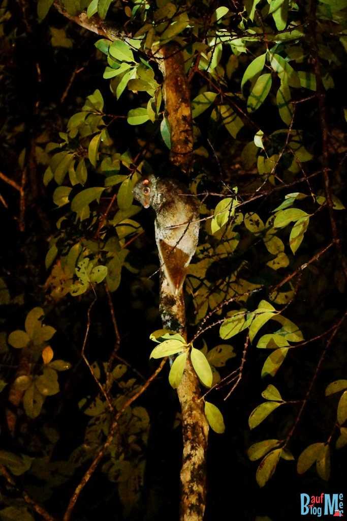 Riesengleiter auf einem Baum im Bako Nationalpark