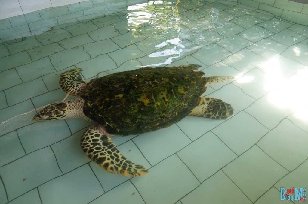 Ausgewachsene Meeresschildkröte im Turtle Project Pemuteran