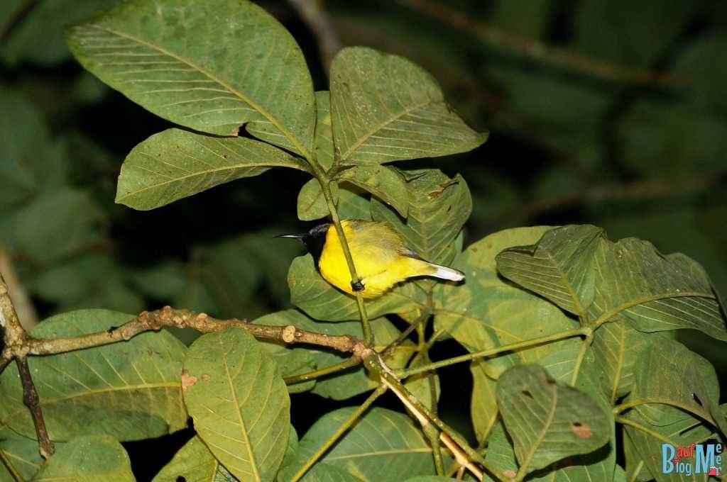 Schlafender Vogel im Bako Nationalpark