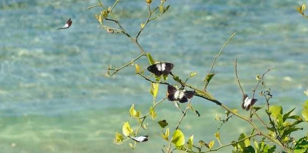 Schmetterlinge auf Lembongan