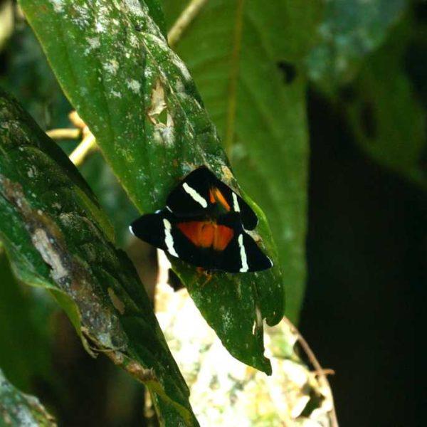 Schmetterlinge im Gunung Mulu Nationalpark