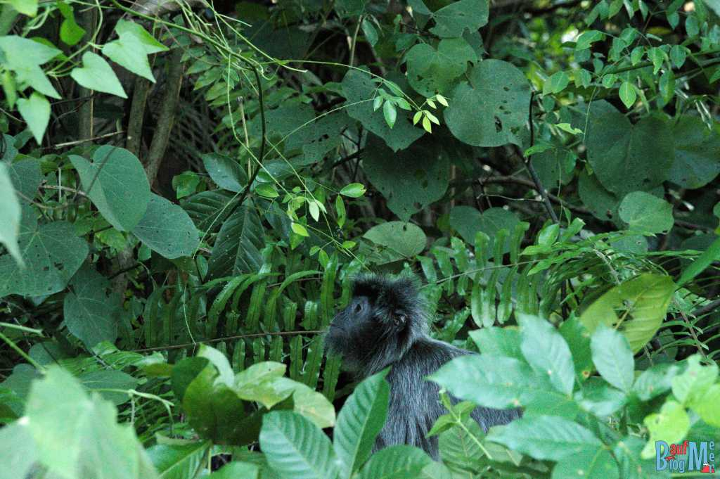 Silberner Haubenlangur im Bako Nationalpark