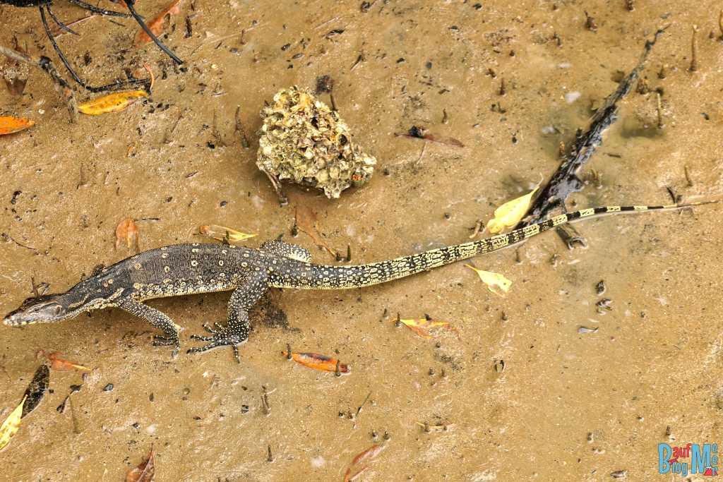 Waran in den Mangroven des Bako Nationalparks