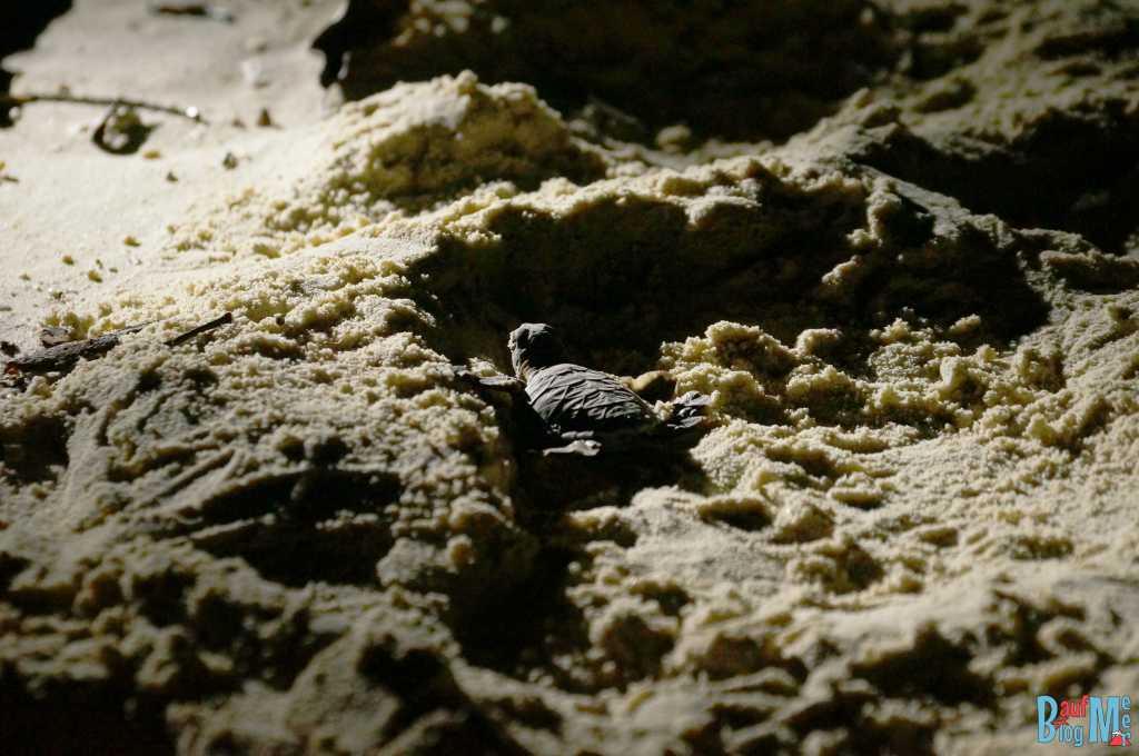 Baby Schildkröte auf ihrem mühsamen Weg Richtung Meer