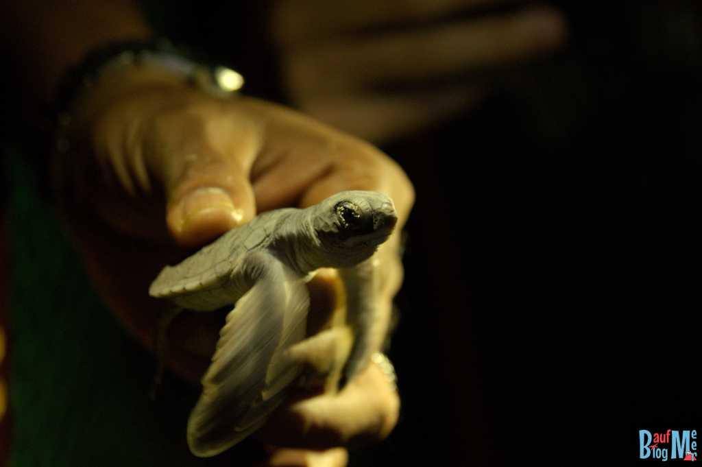 Eingefangene Baby Schildkröte, die aus der Hatchery auf Turtle Island Selingan ausgebrochen war