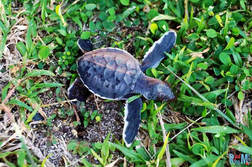 Tote Baby Schildkröte gefunden auf Turtle Island Selingan