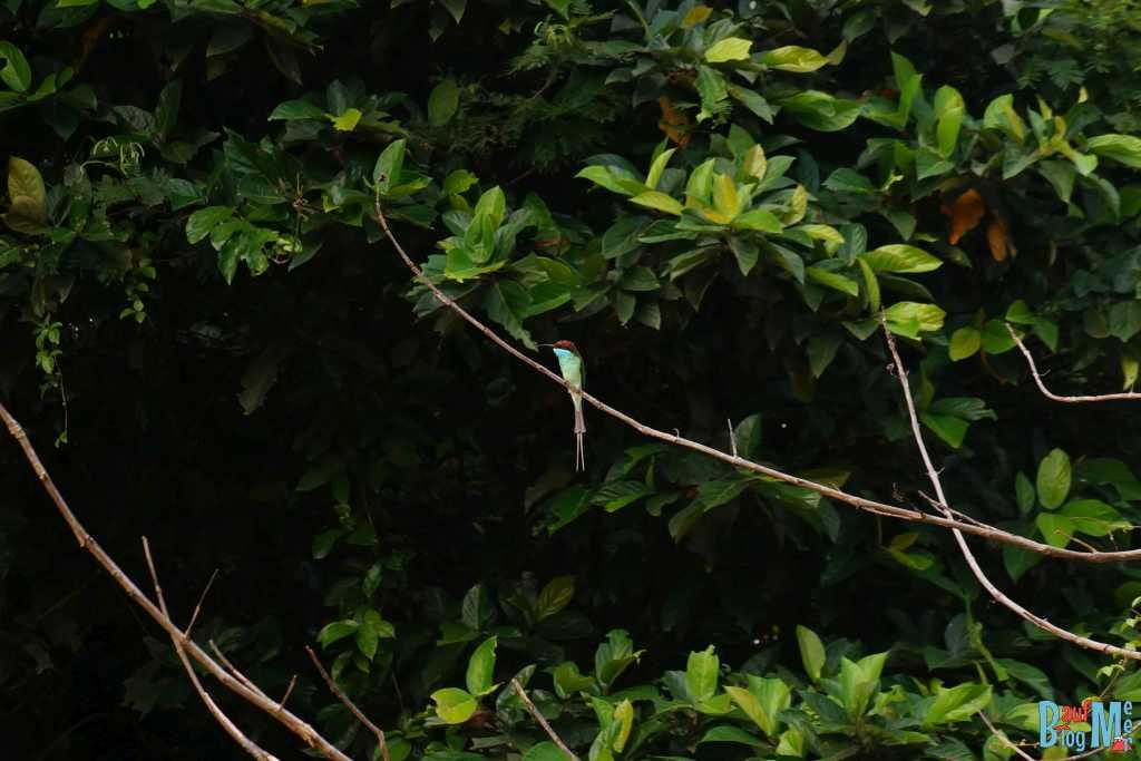 Blue throated bee eater Kinabatangan River
