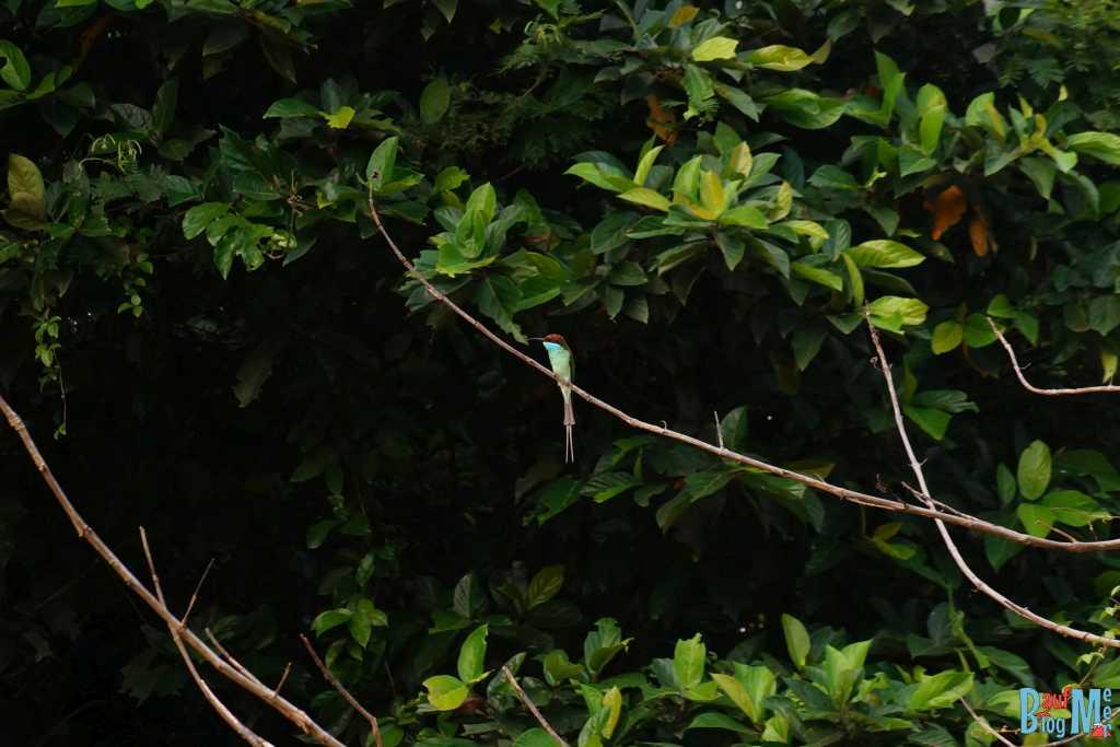 Blue throated bee eater Kinabatangan River
