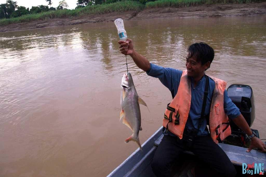 Wels gefangen im Kinabatangan River