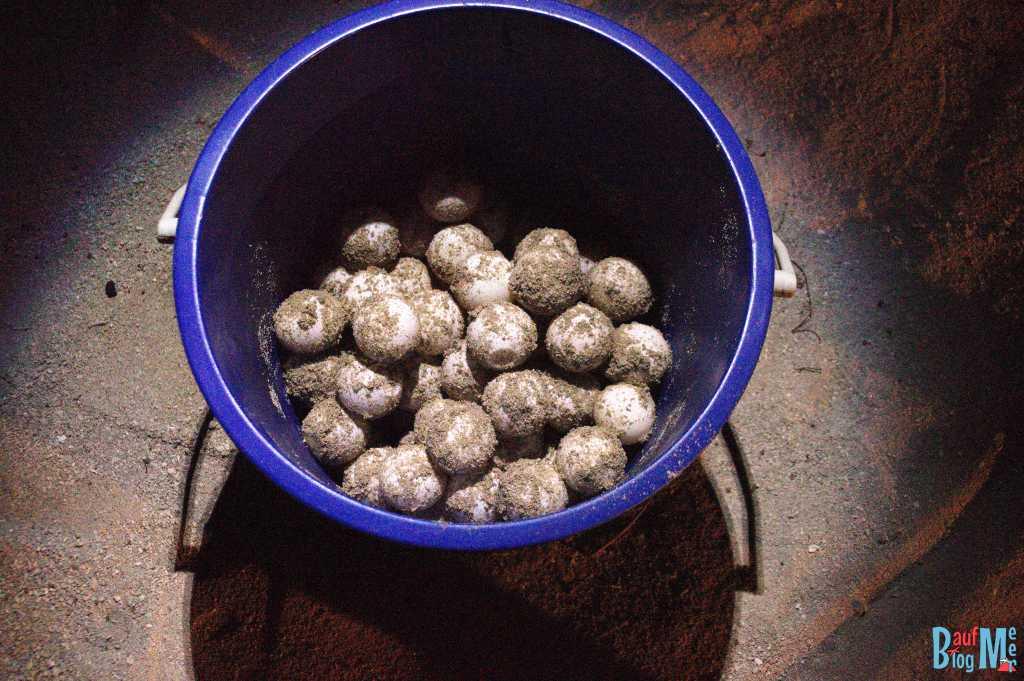 Frisch gelegte, eingesammelte Eier einer Meeresschildkröte