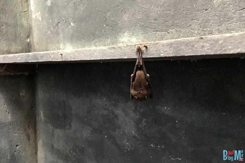 Fledermaus schlafend an Nagel in der Toilette des Camps hängend.