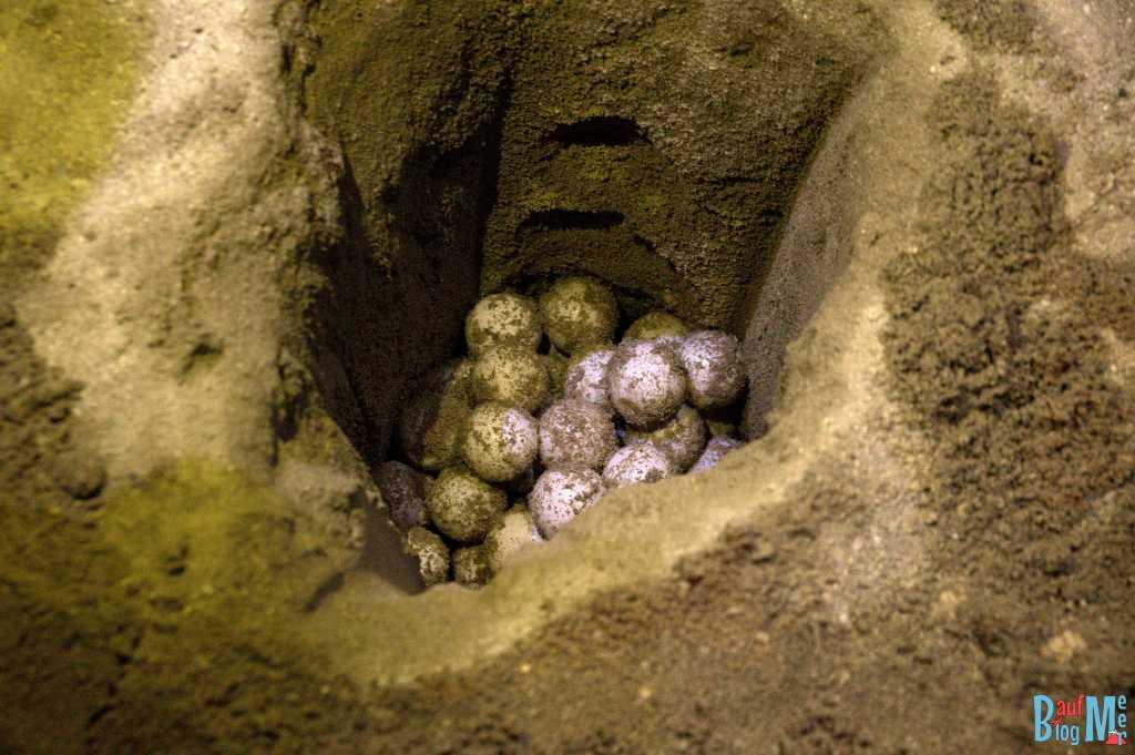 Frisch gelegte Schildkröteneier in der Grube einer Hatchery