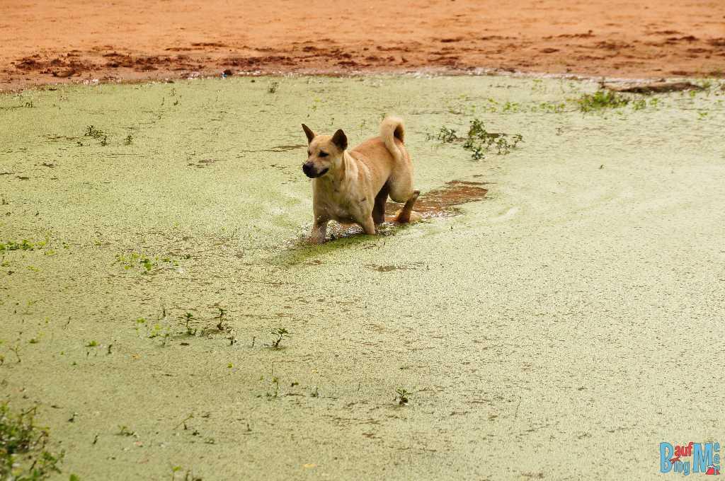 Hund im grün bewachsenen Teich