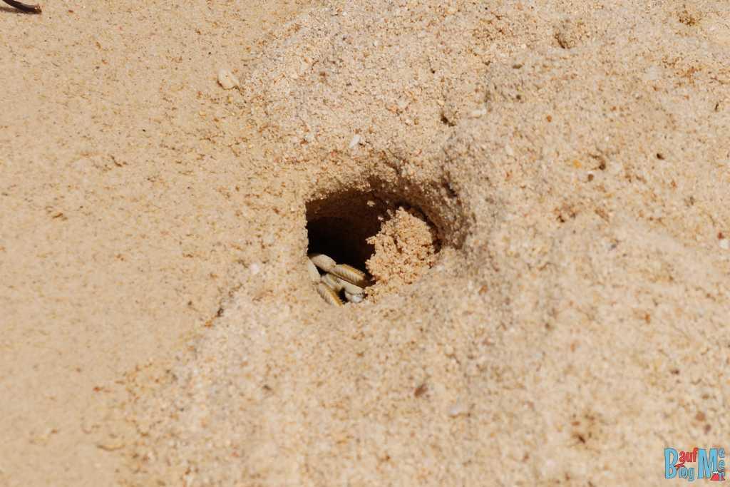 Krabbe in ihrem Bau am Strand von Turtle Island Selingan