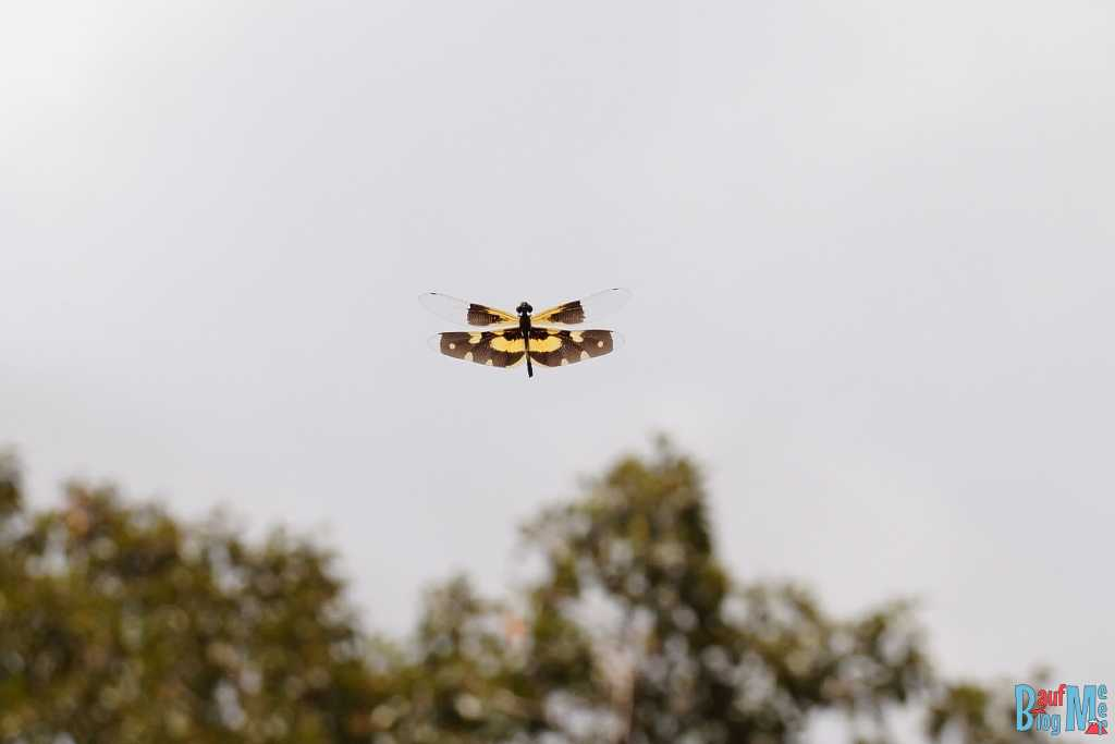 Gelb braune Libelle gesichtet im Ta Keo Tempel