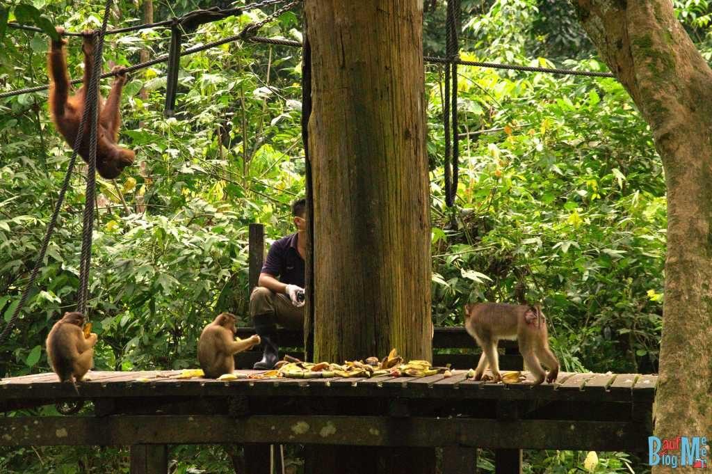 Tja, das war wohl nichts mit der Mahlzeit. Der Orang-Utan traut sich nicht runter.