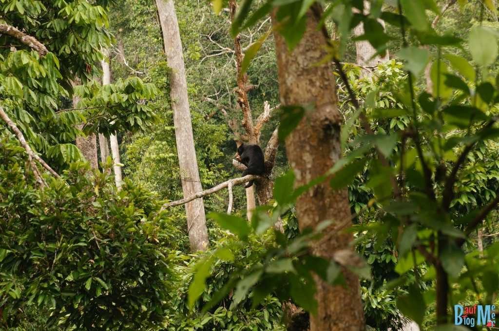 Malaienbär oben auf Baum schlafend