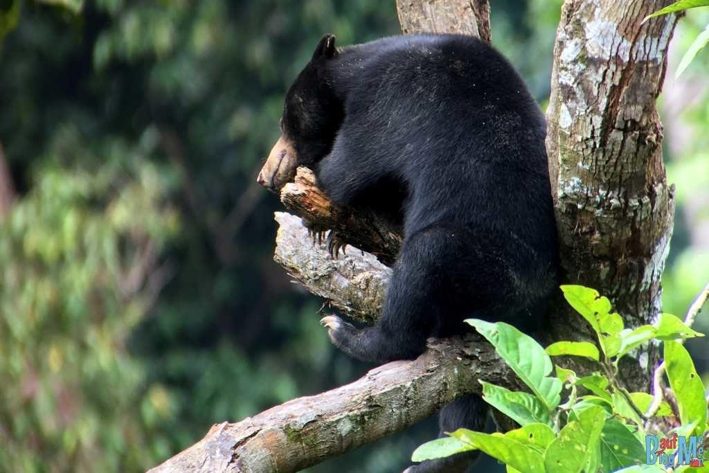 Malaienbär schlafend auf Baum von Nahem,