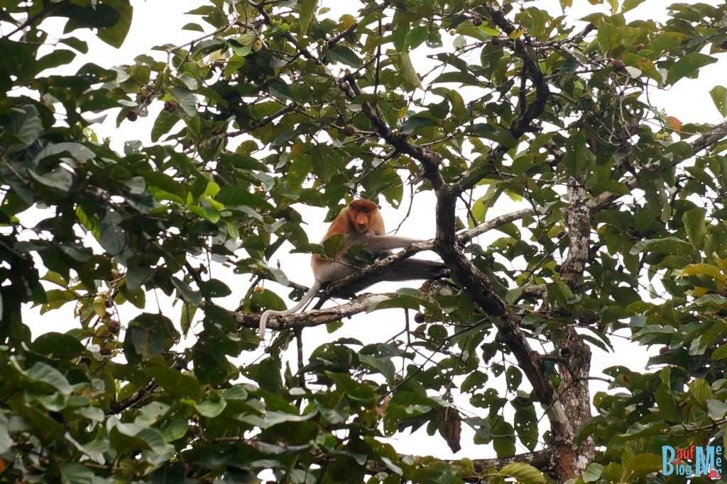 Nasenaffen Weibchen in einer Baumkrone am Kinabatangan River