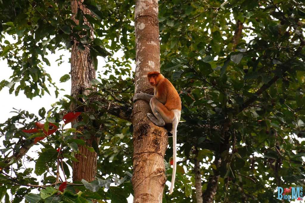 Nasenaffen Weibchen auf Baumstamm am Kinabatangan River
