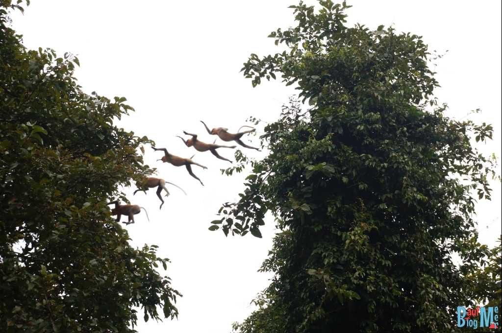 Nasenaffen Männchen im Sprung von Baum zu Baum am Kinabatangan River