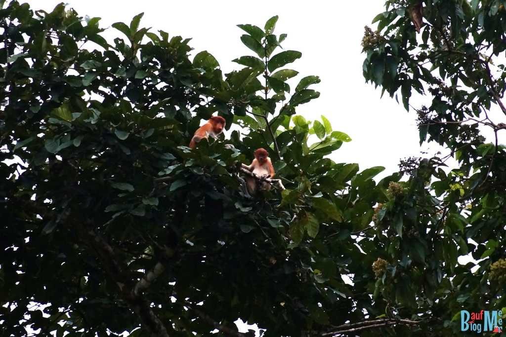 Nasenaffe mit Jungem in einer Baumkrone am Kinabatangan River