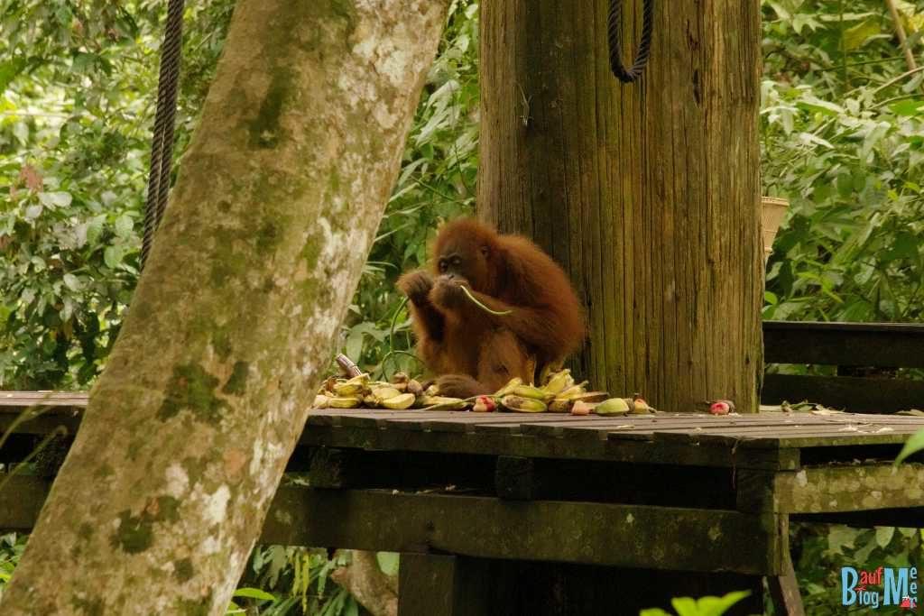 Orang Utan zur Fütterungszeit bei der Plattform A in Sepilok