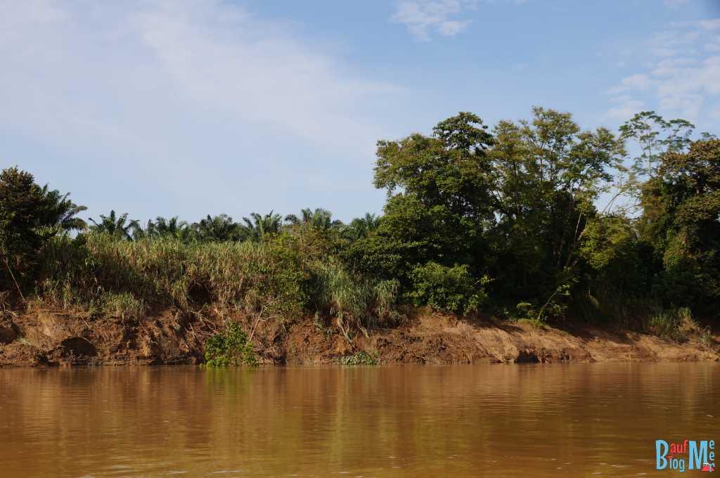 Gleich hinter dem Ufer des Kinabatangan River sieht man, dass die Palmölplantagen beginnen.