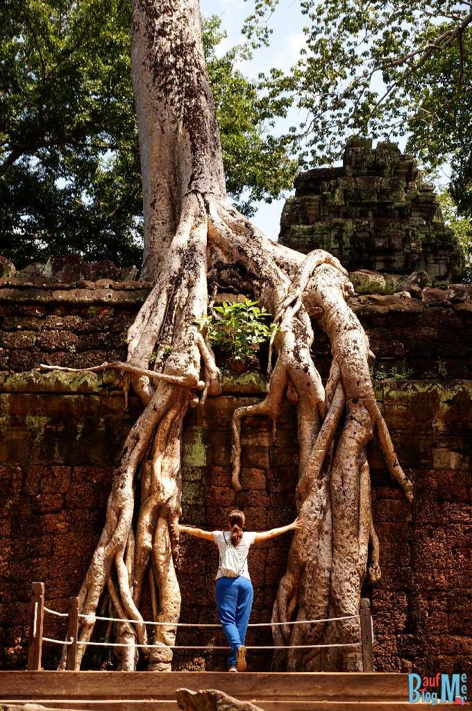 Plattform für Fotos vor den Wurzeln eines Baumes, die auf den Wänden des Ta Prohm runterwachsen.