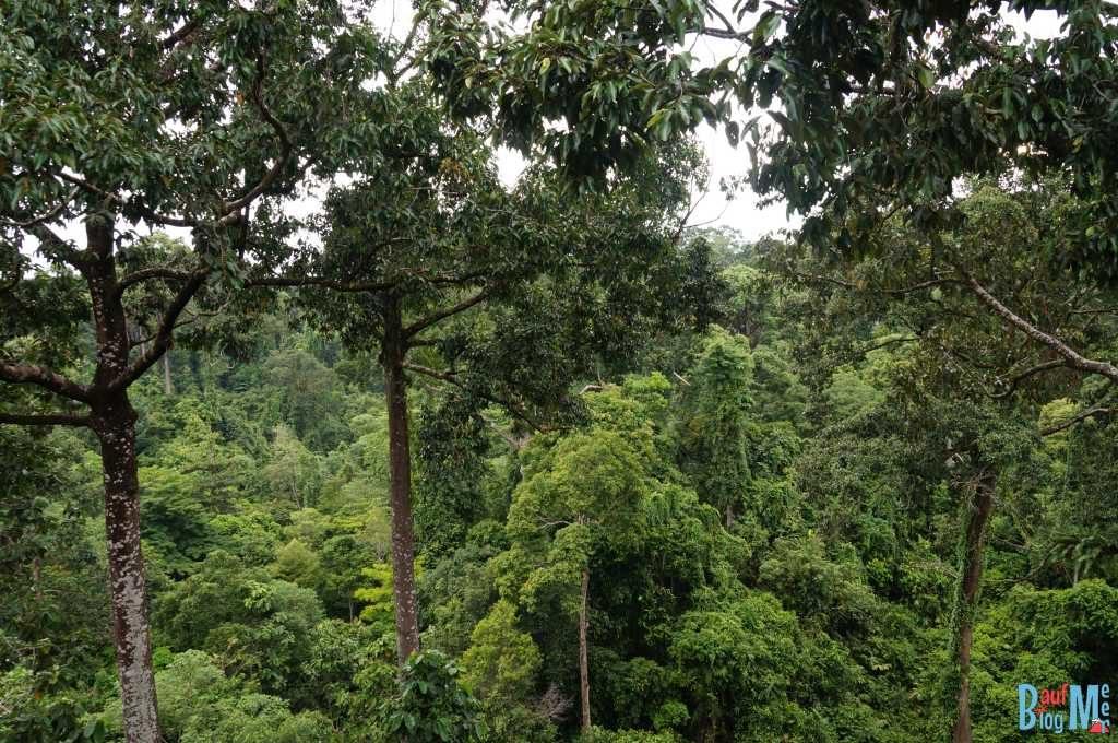 Blick auf Baumkronen vom Aussichtsturm im Rainforest Discovery Centre