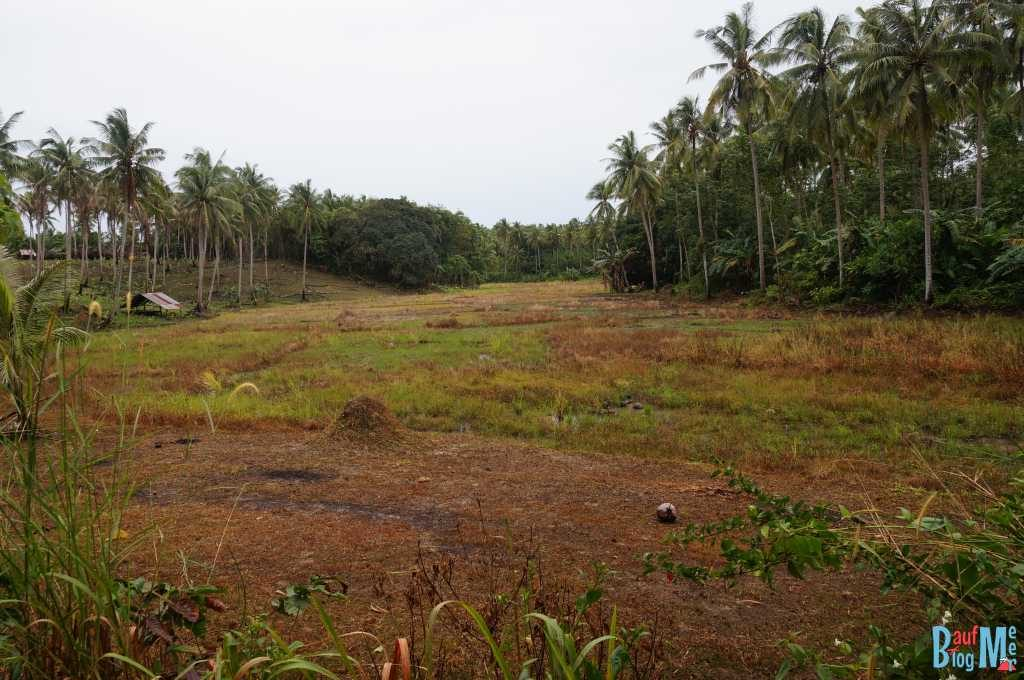 Trockenes Reisfeld neben unserer Unterkunft